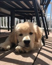Monday Golden Retriever #puppy #cute #dogs #monday #mood #love
