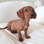 Hermoso cachorro TECKEL SALCHICHA MINIATURA listo para entregar la mascota ideal …  – teckelofinstagram