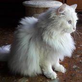 #ragdoll #cat #cats #kittens #catoftheday #catstagram