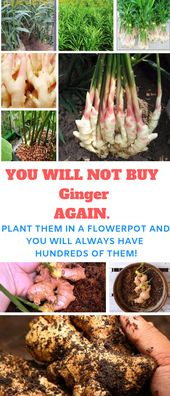 The perfect ginger to plant is bought from a backyard middle or seed catalog. You…
