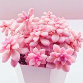 pink succulent   – flowers, floristik