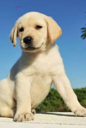 Yellow Labrador Puppy Labradorretrieverpuppies In 2020 Yellow Labrador Puppy Labrador Puppy Cute Labrador Puppies