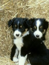 border collier | Border Collie Puppies Images | Puppies Pictures Online   – I want a puppy!!!