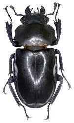 Lucanidae Australische Region Australische Insekten Tierbilder