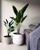 Large houseplants that have the wow factor
