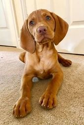 Pin By Susan Ronchetto On Dog Stuff Cute Dogs Puppies Vizsla Puppies