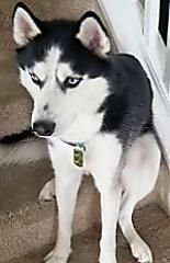 Lost Still Missing As Of 1 10 2019 Black White Blue Eyed Two