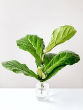 How To Propagate Your Fiddle Leaf Fig Tree  – // GARDENING IN THE CITY \
