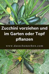 Wie Zucchini Im Garten Oder Topf Pflanzen Zucchini Pflanzen Garten Garten Pflanzen Zucchini Pflanzen Zucchini Pflanzen Zuchini Pflanzen