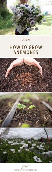 Comment faire pousser des anémones   – Garden