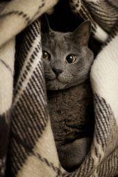 BEEINDRUCKEND!!! Sieht genauso aus wie unsere Katze Toby (auch bekannt als mein süßes Baboo). #RussianBlueCat