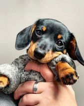 A Lovely Dachshund Dog Puppy