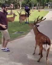 A very polite deer bowing for a cookie in Japan