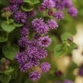 Photo of Best Ageratum: description, landing in the open air