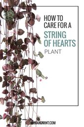 How to Care for an Inner Cord of the Heart Plant – Zimmer Pflanzen