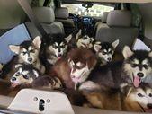 Alaskan Malamute Puppies  – malamutes – #Alaskan #Malamute #Malamutes #Puppies  – Puppies Cutest