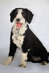 Spanischer Wasserhund Perro De Agua Espanol Perro Nord Spanische Wasserhund Welpen In 2020 Spanischer Wasserhund Spanisch Welpen