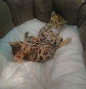 Edible Bengal Kittens Luni Lucky Bengal Kitten Kittens Bengal