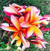 "25 Fresh ""PARADISE"" Plumeria Seeds New-Vibrant-Rare USA Grower & Seller-Ships Free"