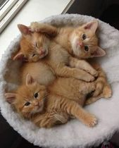 A basket of cute orange kittens #cat #kitten #orangekittens #cute