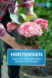 Garden tips for hydrangeas