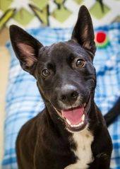Lab Pharoah Hound Mix Labrador Retriever Mix Pets I Love Dogs