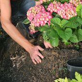 Hortensien pflanzen: Tipps für Beet und Topf – Garten