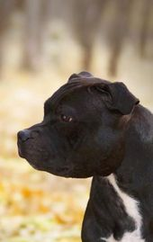 Pin By Angela Ackerman On Terery Bully Breeds Dogs American Staffordshire Bull Terrier Pitbull Terrier