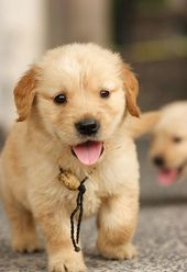 Golden Retriever Puppy…he just stole my heart!   – Cute Canines
