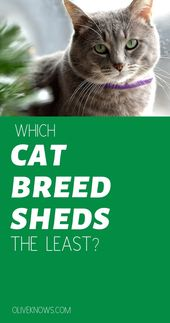 Which Cat Breed Sheds The Least? – Cat Safety
