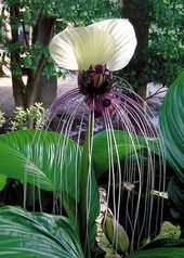 Tacca Nivea White 10 Seeds, Devil's Whiskers, White Bat Flower House Plants, Great Greenhouse Contai