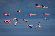 Flamingos Fly over L