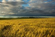 wheat field...