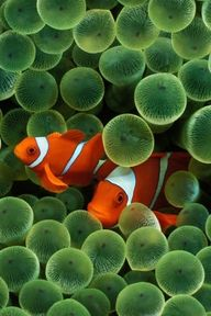 Clown Fish in the An