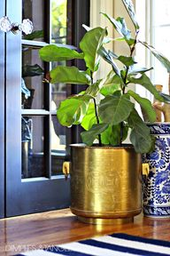 Fiddle leaf fig in a