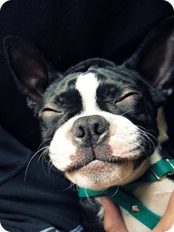 Boston Terrier, pure