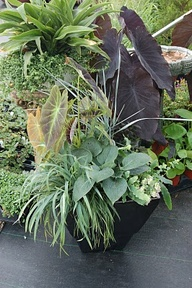 Hosta, Alocasia, Lot...