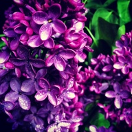 Lilacs used in Tinas