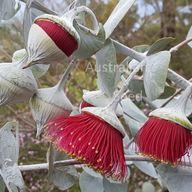 Australian Seed - EUCALYPTUS rhodantha