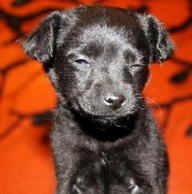 Cute Labrador Puppy