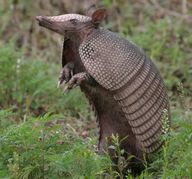 Texas Armadilla - spot one of these!