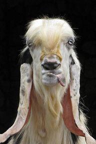funny goat | Flickr