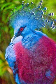 Victoria Crowned Pigeon ✿⊱╮