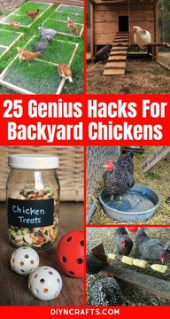 Learn how to keep your chicken coop cool, save money on feed, and make sure your chickens lay more eggs with this great list of hacks and tips for your backyard chicken coops! #BackyardChickens #Chickens #ChickenCoop #RaisingChickens #Hacks #Lifehacks #Homestead #Homesteading #Eggs #LayingHens #Roosters