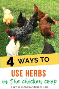 Using herbs in your chicken coop can benefit your hens in many ways. These 4 uses for herbs in the coop will help deter pests and keep your girls healthy. #dogwoodsanddandelions #chickens #raisingchickens #homesteading