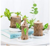 Brazil wood Hydroponic Plants Groot Lucky Wood Potted