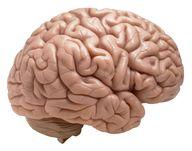 The brain's nervous