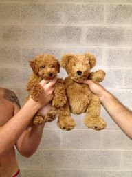 Goldendoodle puppy o
