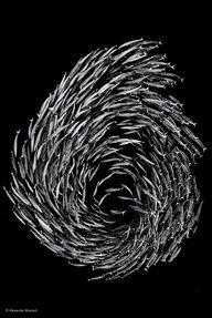 'Barracuda Swirl' by