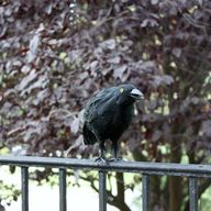 Creepy Black Crows |